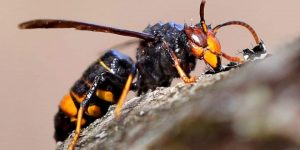 AVISPA VELUTINA » Características, hábitat y riesgos